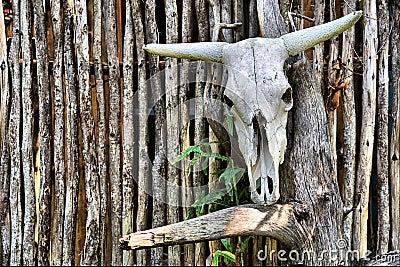 African bull skull on wall