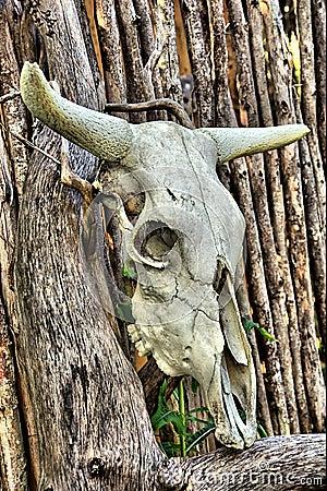 African bull skull on wooden fence