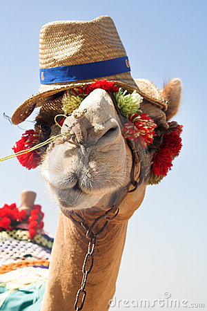 The African camel
