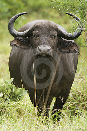 Free African Cape Buffalo Royalty Free Stock Photography - 4436897