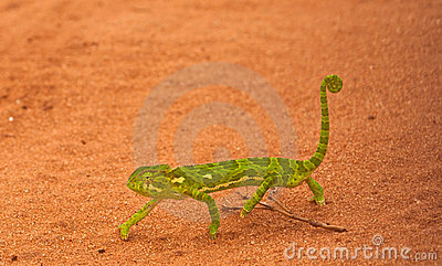 An african Chameleon
