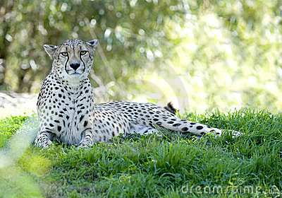 African cheetah adult female in shade big cat