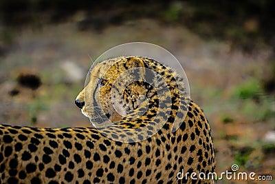 African Cheetah Free Public Domain Cc0 Image