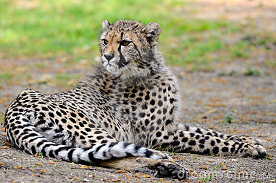 African Cheetah lying on grass