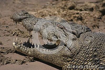 African Crocodile (Chobe NP, Botswana)