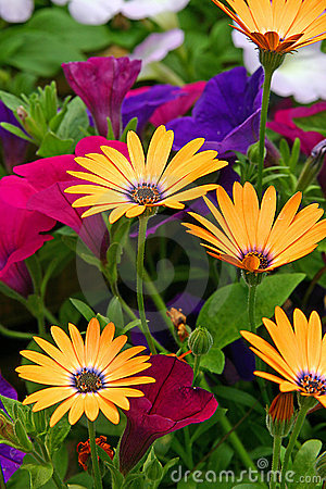 Free African Daisies Royalty Free Stock Photos - 4167998