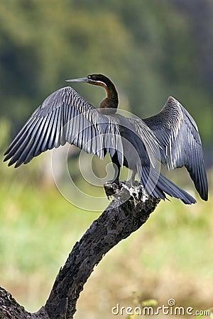 African Darter - Botswana