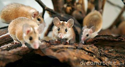 African, desert thorny mouse (Acomys cahirus )