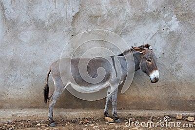 African Donkey