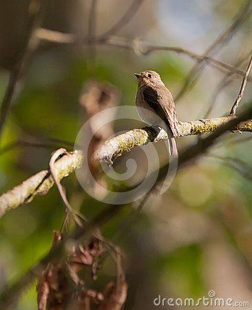 The African Dusky Flycatcher