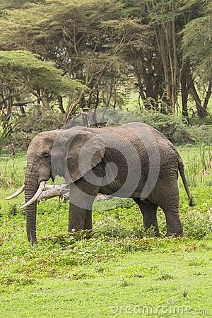 Free African Elephant Royalty Free Stock Photo - 107921245