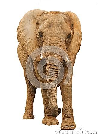 Free African Elephant Royalty Free Stock Photos - 13883048