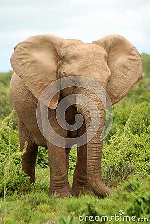 Free African Elephant Royalty Free Stock Photos - 5965818