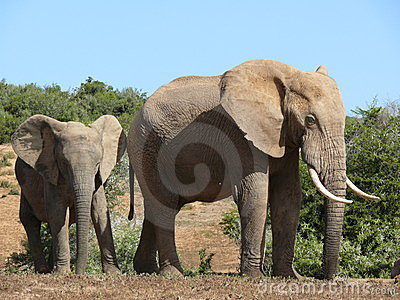 African elephant adult and juvenile