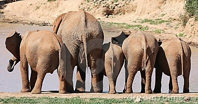 African Elephant Behinds
