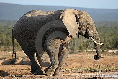 African Elephant Bull Drinking Water