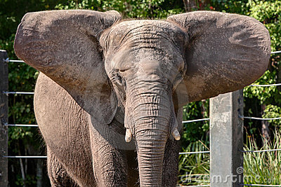 African Elephant in captivity stretching large ear