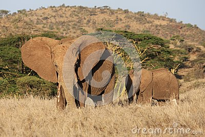 African elephant and child