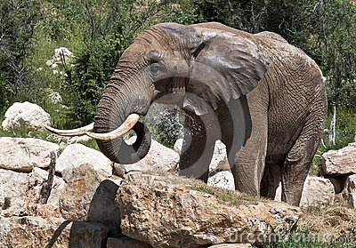 African elephant, cooling water