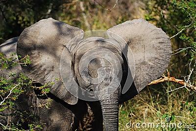 African Elephant Cub (Loxodonta Africana)