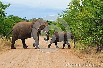African Elephant with cub (Loxodonta africana)
