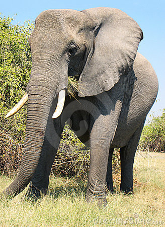 Free African Elephant Eating Royalty Free Stock Photos - 9870618