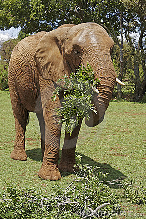 Free African Elephant Eating Leafy Branches Stock Photo - 7267540
