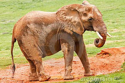 African Elephant Eating Mud