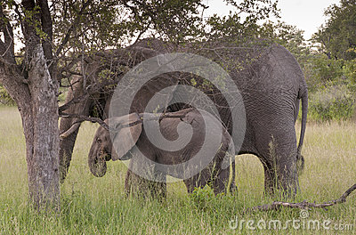 African Elephant Family in South Africa