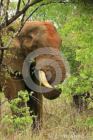 Free African Elephant Feeding On Mopani Stock Images - 7761774