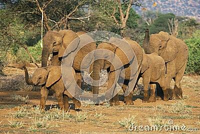 African Elephant herd,