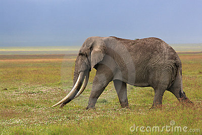 African elephant with huge tusk