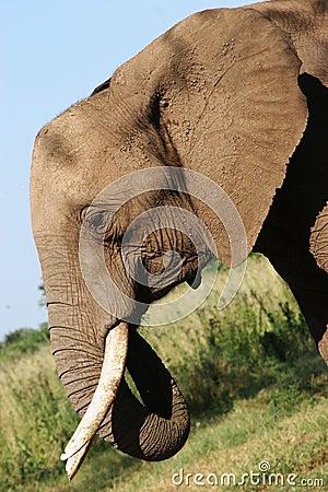 Free African Elephant In Zimbabwe Stock Image - 228641