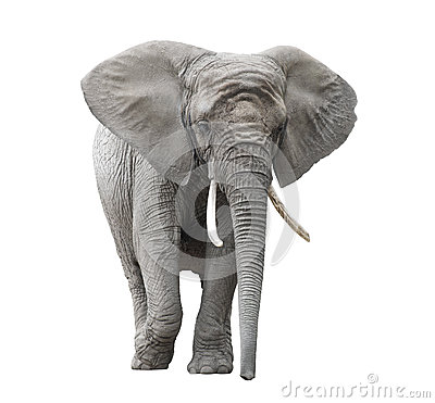 Free African Elephant Isolated On White Stock Photography - 43165622