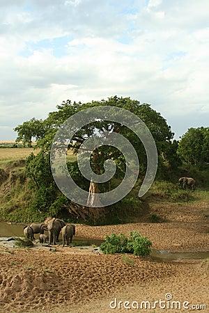 African elephant landscape