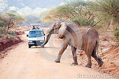 African elephant (Loxodonta africana) Editorial Stock Photo