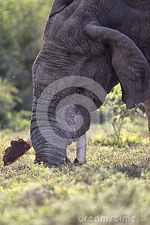 Free African Elephant (Loxodonta Africana) Royalty Free Stock Photo - 51205995