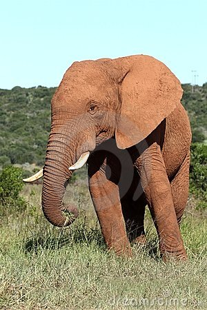 Free African Elephant Male Royalty Free Stock Images - 23907499