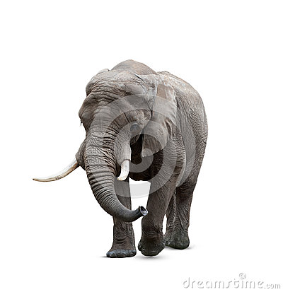 Free African Elephant Male On White Stock Photos - 56776283