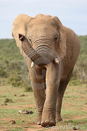 African Elephant on the Move