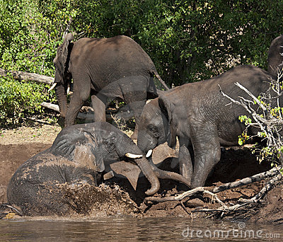 African Elephant Mud Bath - Botswana