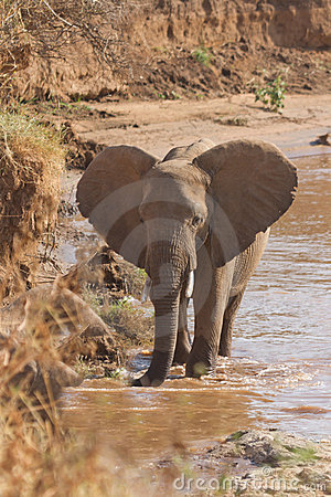 Free African Elephant  On Kenyan Riverbank Royalty Free Stock Images - 16274749