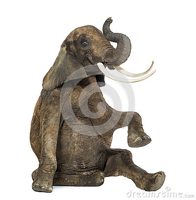 African elephant performing, seated on the floor, trunk up