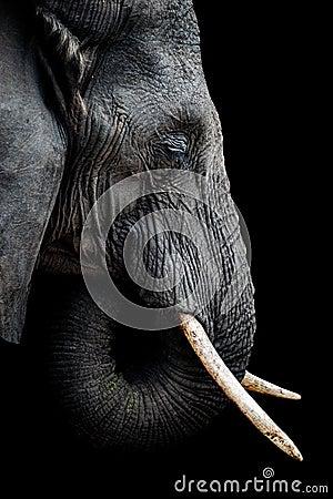 Free African Elephant Portrait Royalty Free Stock Photos - 123467038
