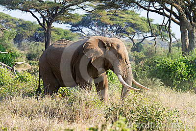 African elephant in reserve