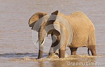 African Elephant, Samburu Reserve, Kenya