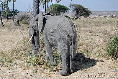 African Elephant with savannah woodland -Tanzania