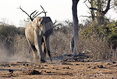African elephant in Savute
