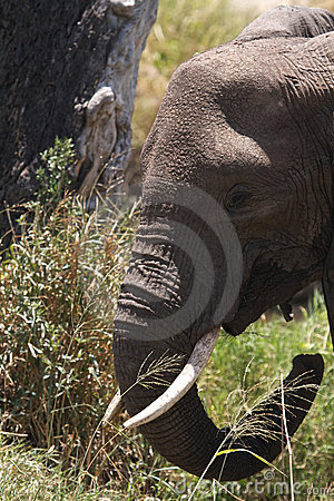 African Elephant with tusks