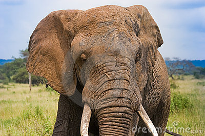 African Elephant with tusks.jpg